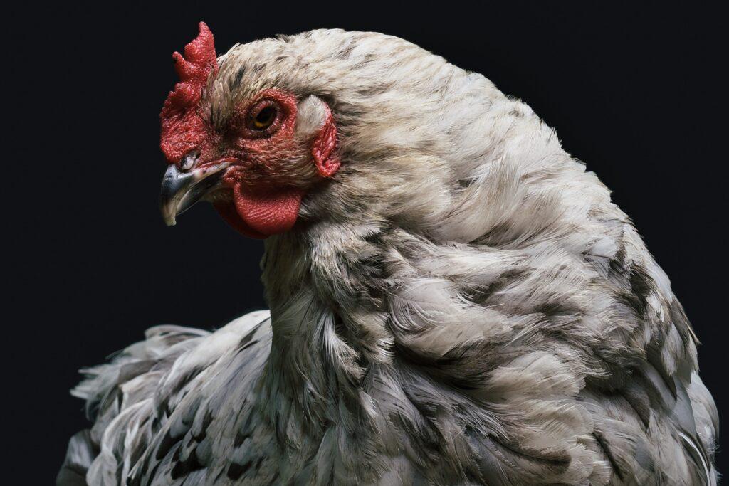 chicken, hen, poultry