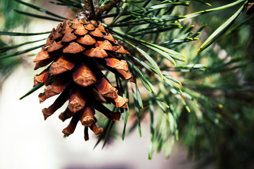 Close up photo of brown pinecone